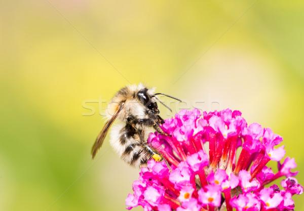 Bee verzamelen nectar bloesem honingbij paars Stockfoto © manfredxy