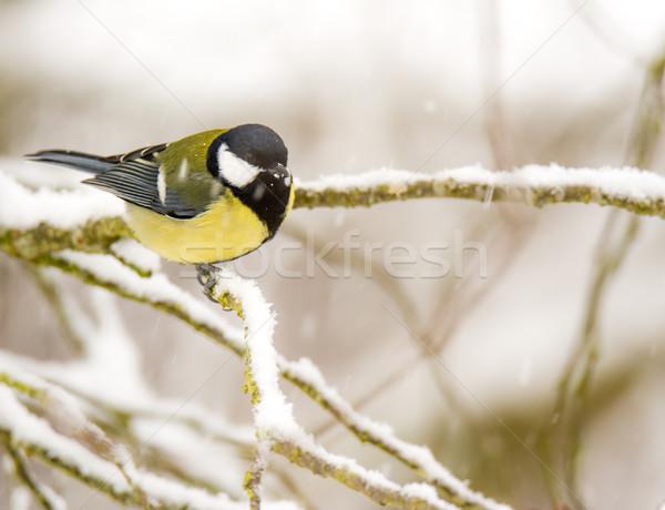 売り言葉 鳥 座って 雪 カバー ストックフォト © manfredxy