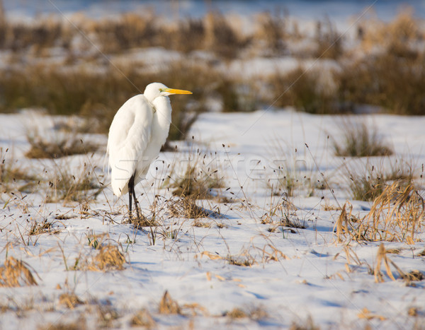 White great egret standing in a snow covered meadow Stock photo © manfredxy
