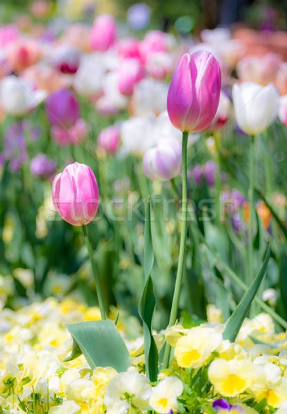 チューリップ 花 花壇 春 風光明媚な ストックフォト © manfredxy