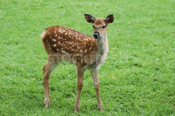Fawn Stock photo © manfredxy