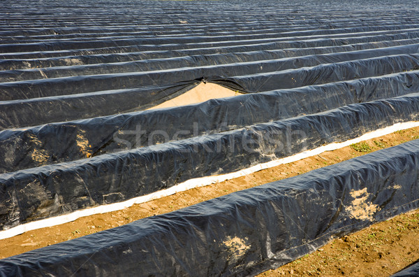 Asparagus field covered with platic foil Stock photo © manfredxy