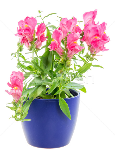 Isolated potted blue Antirrhinum flower Stock photo © manfredxy