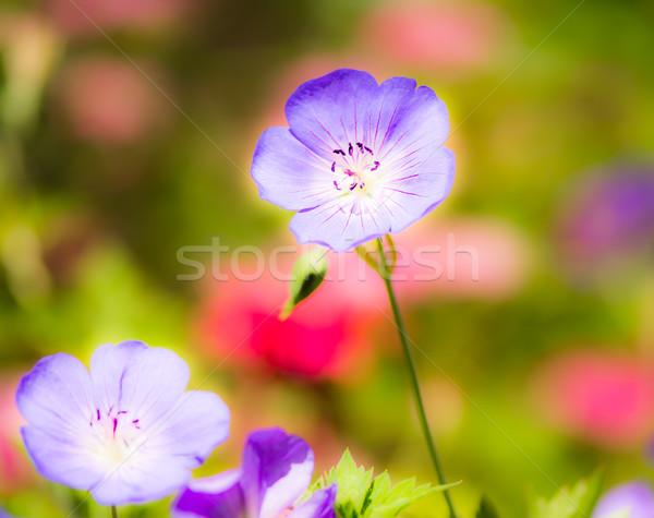 Geranium flower blossoms Stock photo © manfredxy