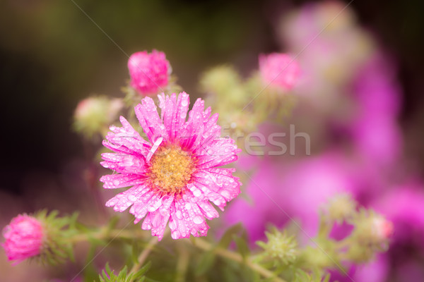 Raindrops on a pink aster flower blossom Stock photo © manfredxy