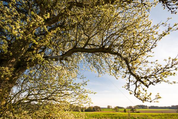 пейзаж цветения дерево весны Сток-фото © manfredxy