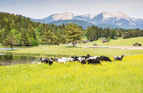 Koyun pastoral çayır alpler su Stok fotoğraf © manfredxy