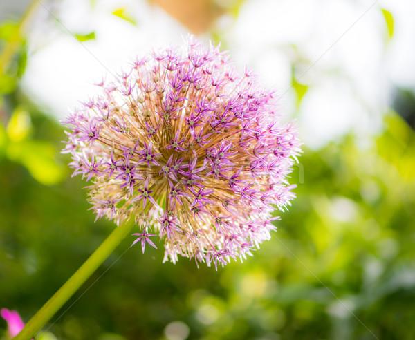 Géant oignon fleur fleur Photo stock © manfredxy
