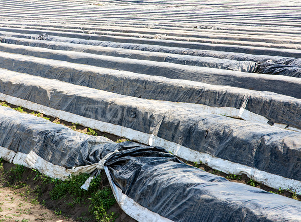 Asparagus field covered with plastic foil Stock photo © manfredxy