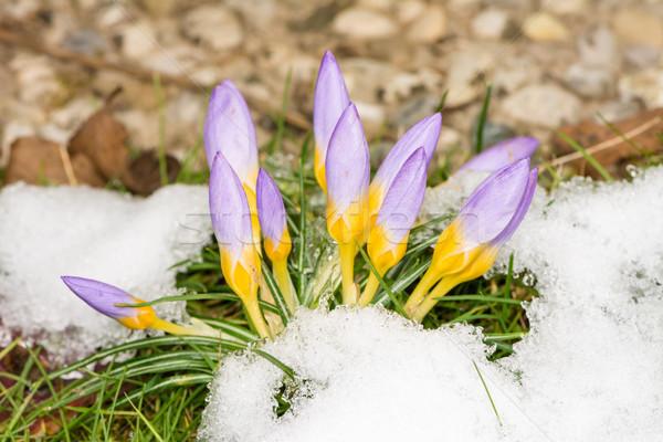 Mor çiğdem çiçekler kar çiçek Stok fotoğraf © manfredxy