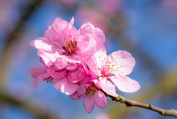 Beautiful pink peach blossoms Stock photo © manfredxy