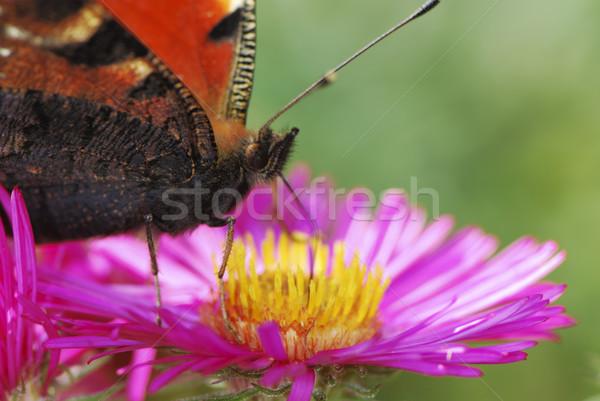 Paon papillon fleur rose fleur rouge Photo stock © manfredxy