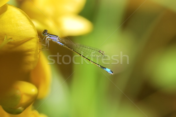 Damselfly on a yellow flower Stock photo © manfredxy
