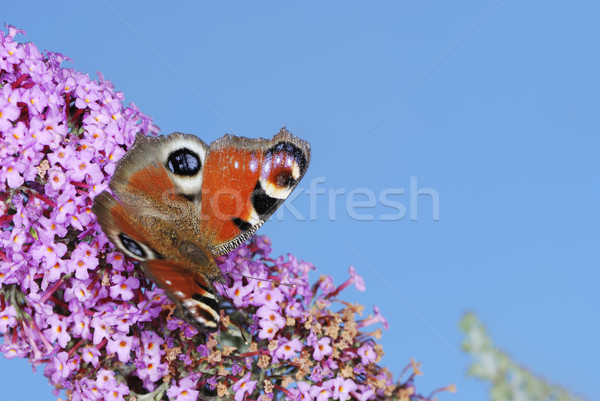 Paon papillon ciel fleur nature bleu Photo stock © manfredxy