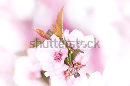 Pink peach blossoms Stock photo © manfredxy