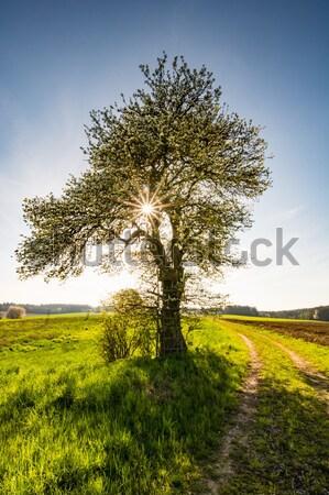 Manzara çiçekli ağaç bahar güneş doğa Stok fotoğraf © manfredxy