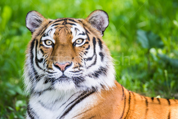 Portrait of a siberian tiger Stock photo © manfredxy