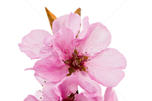 Isolated pink peach blossoms Stock photo © manfredxy