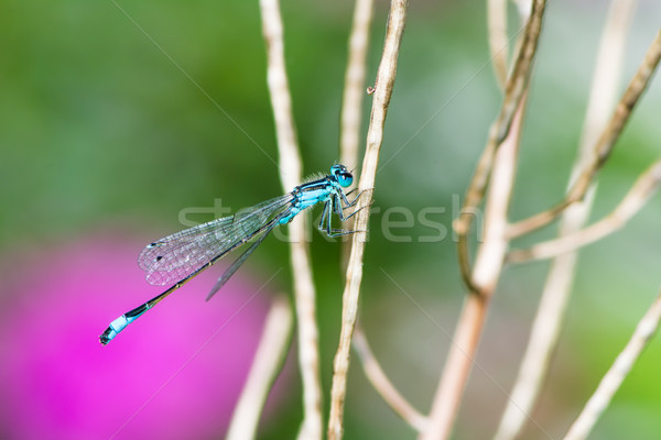Bluetail damselfly on a twig Stock photo © manfredxy