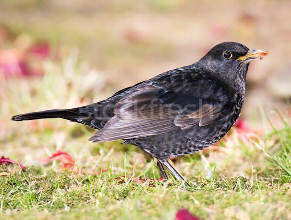 Primer plano mirlo sesión hierba aves Foto stock © manfredxy