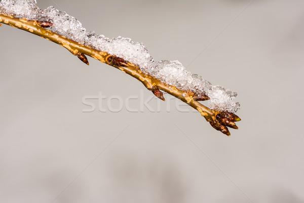 веточка покрытый снега заморожены льда Сток-фото © manfredxy