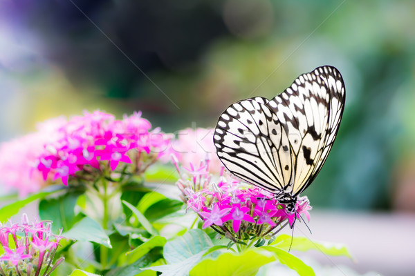 Large tree nymph butterfly on a flower blossom Stock photo © manfredxy