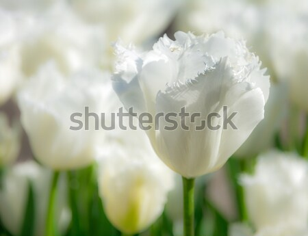 Outstanding white tulip in a flower bed Stock photo © manfredxy