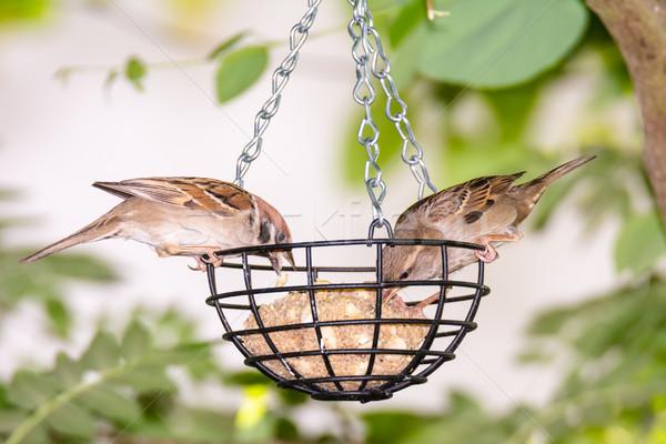 Ptaków tłuszczu piłka żywności Pióro zwierząt Zdjęcia stock © manfredxy
