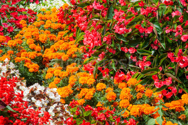 Flowerbed in the garden Stock photo © manfredxy