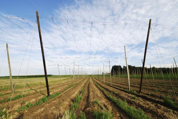 Crescita hop agricola panorama campo giardino Foto d'archivio © manfredxy