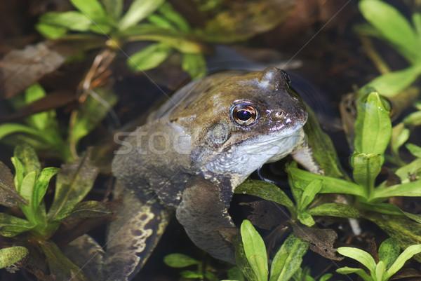 ヒキガエル 小 水 自然 プール 湖 ストックフォト © manfredxy