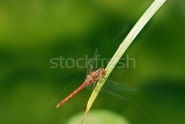 Yusufçuk kırmızı bıçak çim doğa böcek Stok fotoğraf © manfredxy
