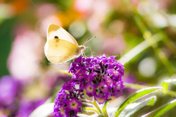 Blanco col flor flor púrpura mariposa Foto stock © manfredxy