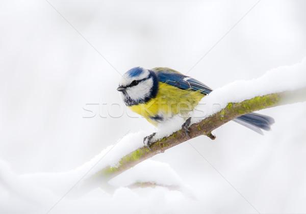 Niebieski tit ptaków posiedzenia śniegu pokryty Zdjęcia stock © manfredxy