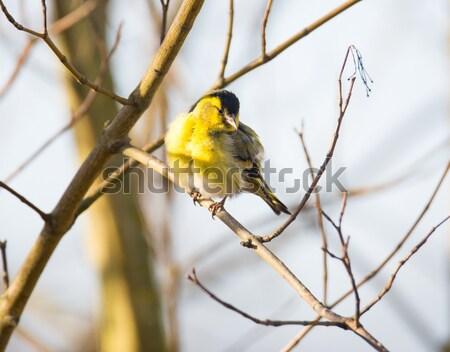Black-headed Goldfinch Stock photo © manfredxy