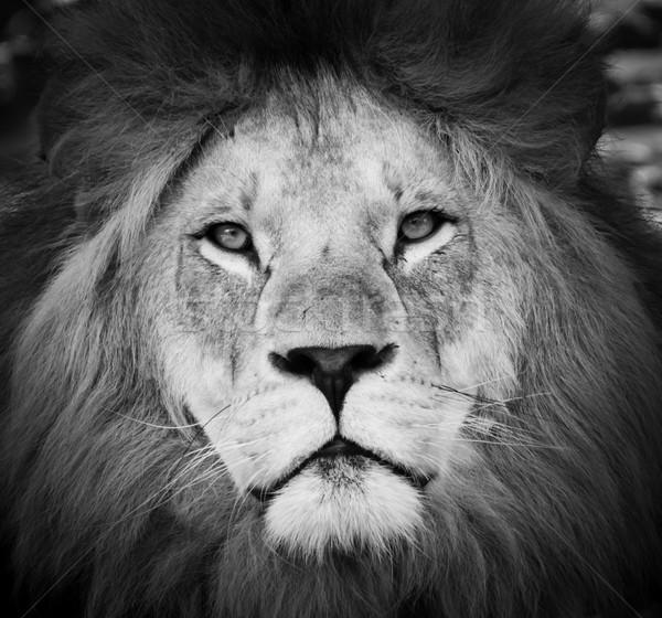 Сток-фото: черно · белые · портрет · лев · мужчины · природы · голову