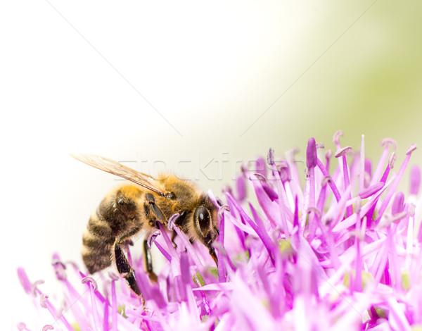 Méh virágpor óriás hagyma virág lila Stock fotó © manfredxy