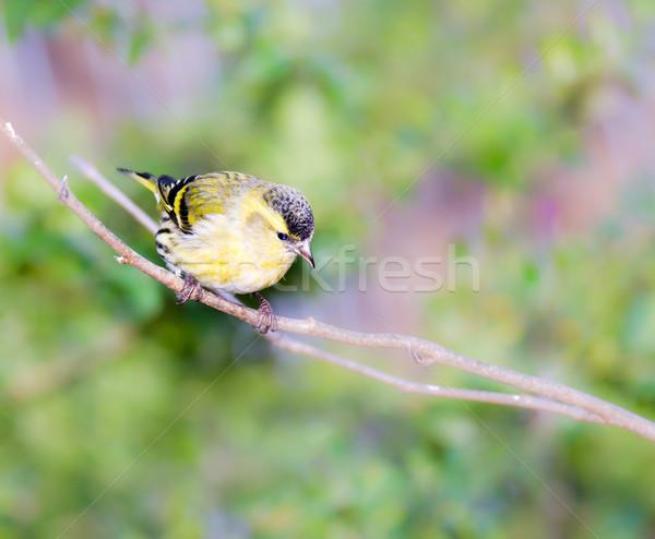 座って 小枝 ツリー 自然 冬 羽毛 ストックフォト © manfredxy