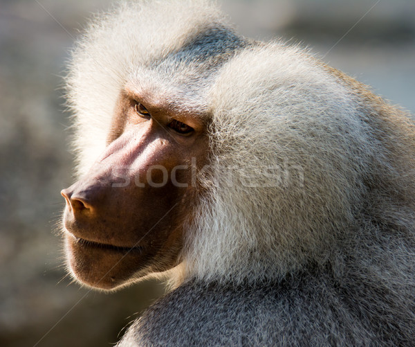 портрет бабуин обезьяны Сток-фото © manfredxy