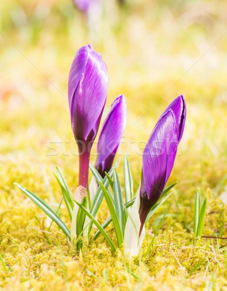 Roxo açafrão flor primavera foco Foto stock © manfredxy