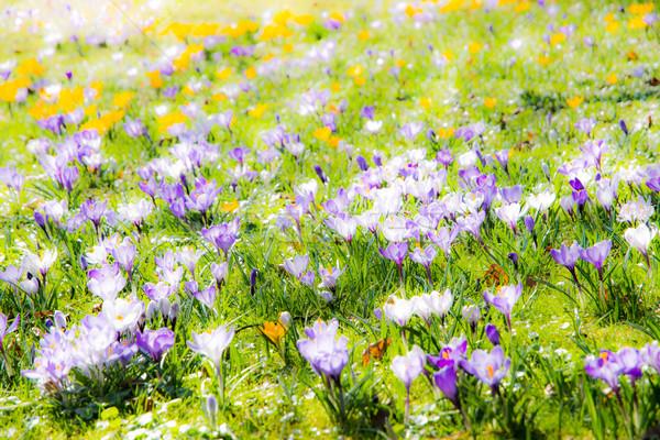 Tavasz különböző kikerics virágok legelő virág Stock fotó © manfredxy