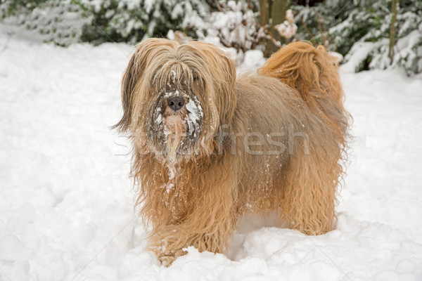 Long-haired tibetan terrier in the snow Stock photo © manfredxy