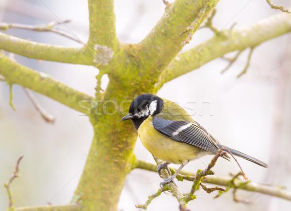 Teta pássaro sessão árvore Foto stock © manfredxy