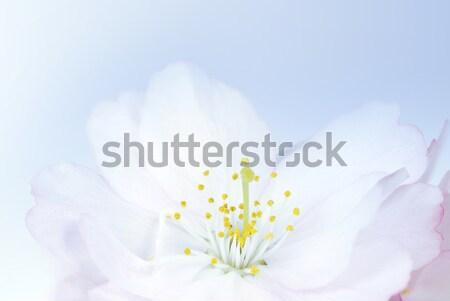 Cherry Blossom Stock photo © manfredxy