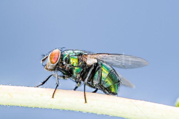 Blowfly Stock photo © manfredxy