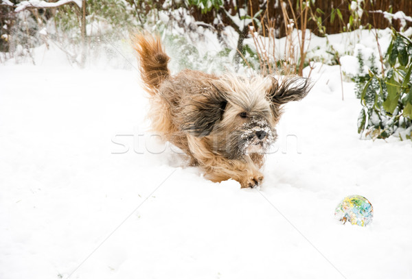 Tibetan Terrier Dog Catching Ball in Snow Stock photo © manfredxy