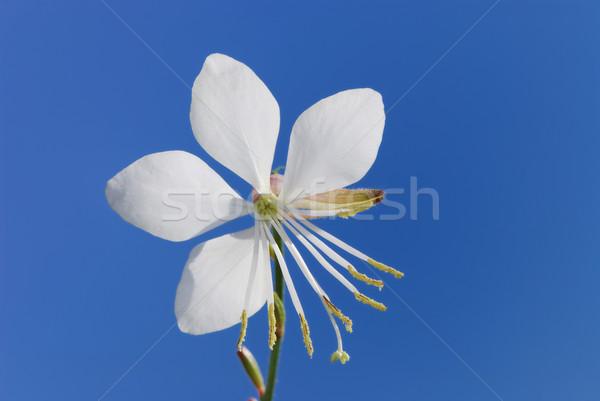 White flower Stock photo © manfredxy
