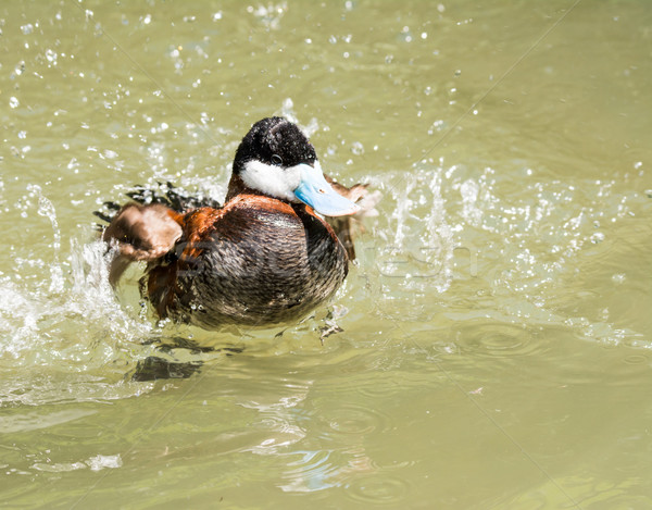 Ringed Teal Duck Stock photo © manfredxy