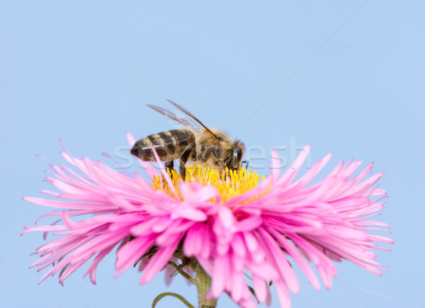 Bee on a pink aster flower Stock photo © manfredxy