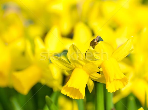 Sarı nergis çiçekler bahar Stok fotoğraf © manfredxy